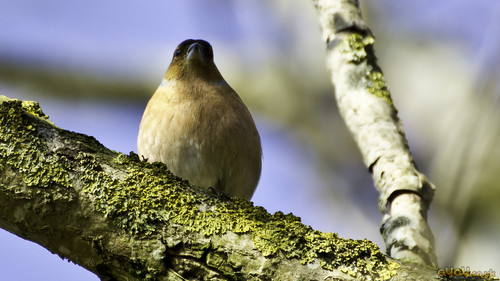 female chaffinch bird