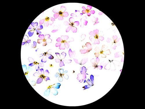 pillangvirag