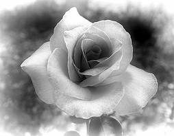 A rose is a symbol of my amor for you, its petals shine in beauty and its thorns mostrar its pain
