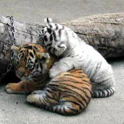 Adorable Tigerbabies