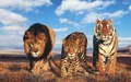 Beautiful Wildcats - the-animal-kingdom wallpaper