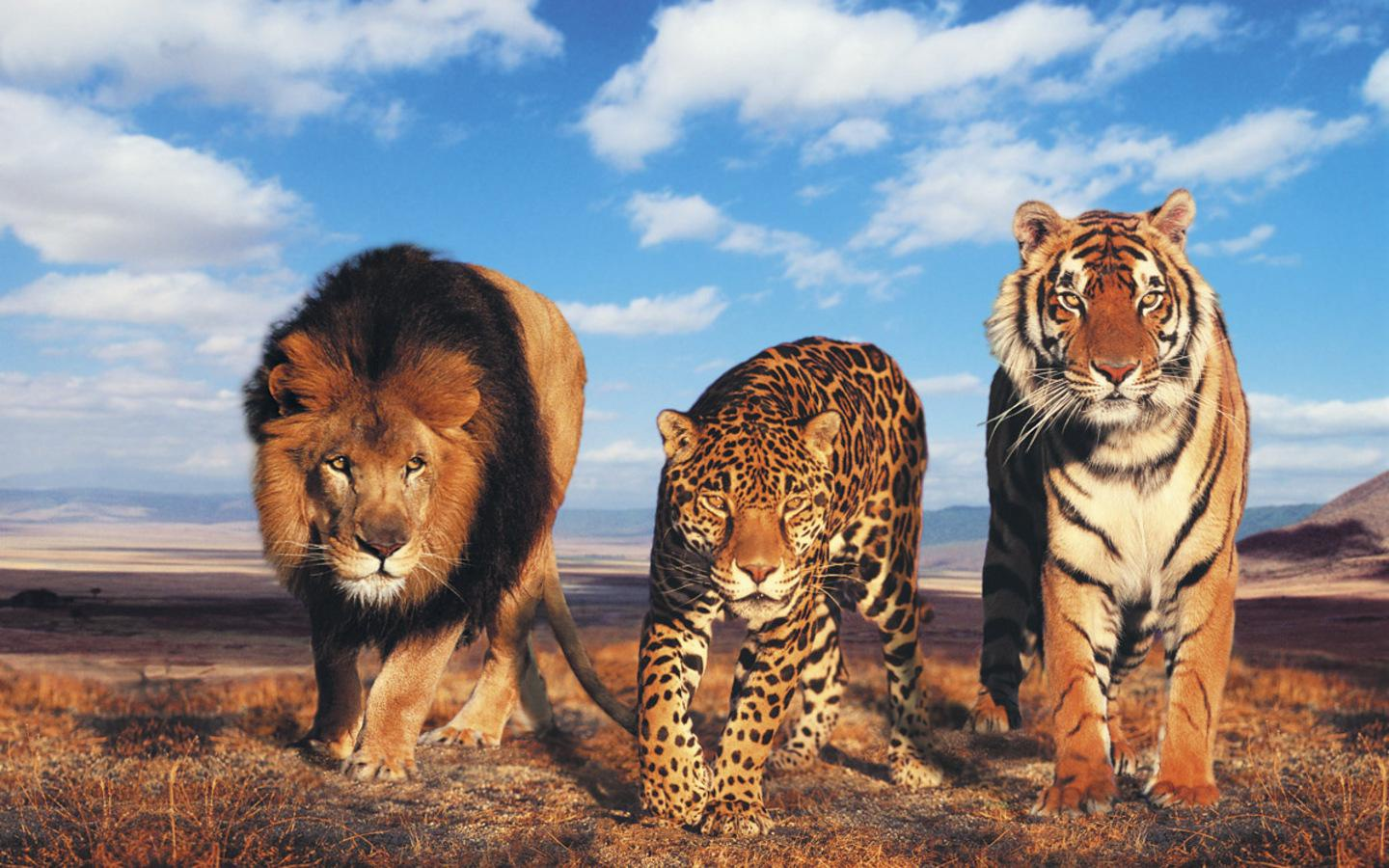 Beautiful Wildcats  The Animal Kingdom Wallpaper 34283400  Fanpop