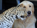 Leopard & Dog  - animals photo