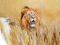 Lion in gras