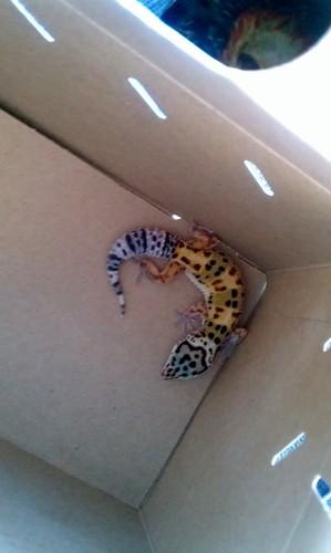 My leopard 도마뱀 붙이, 게코, 게 코