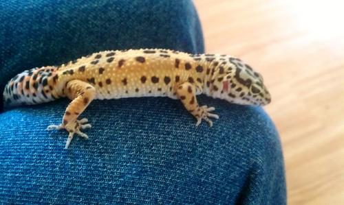 My leopard ヤモリ, ゲッコ