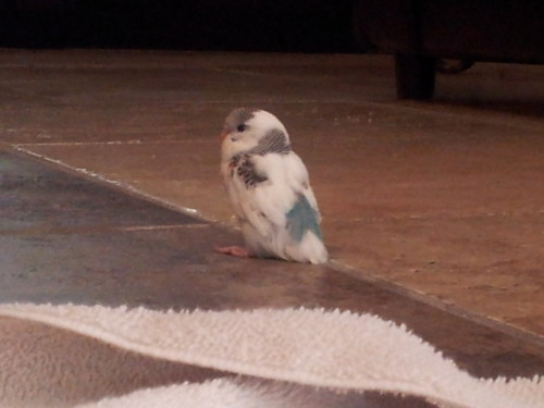 My precious delilah (baby parakeet