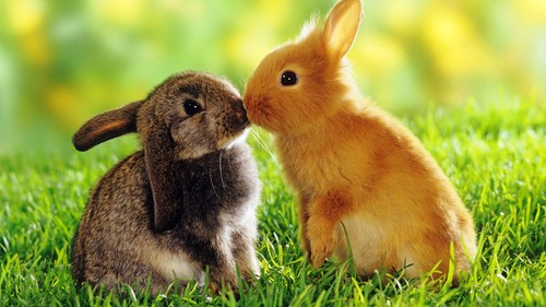 Rabbit Kissing