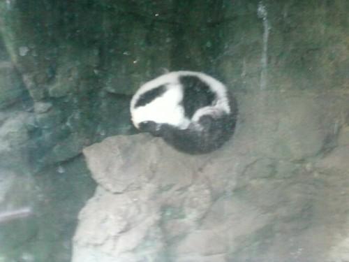 Sleeping maki, lémurien