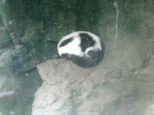 Sleeping lemur