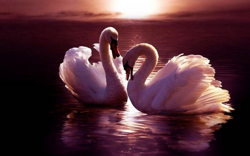 Animals wallpaper titled Swans