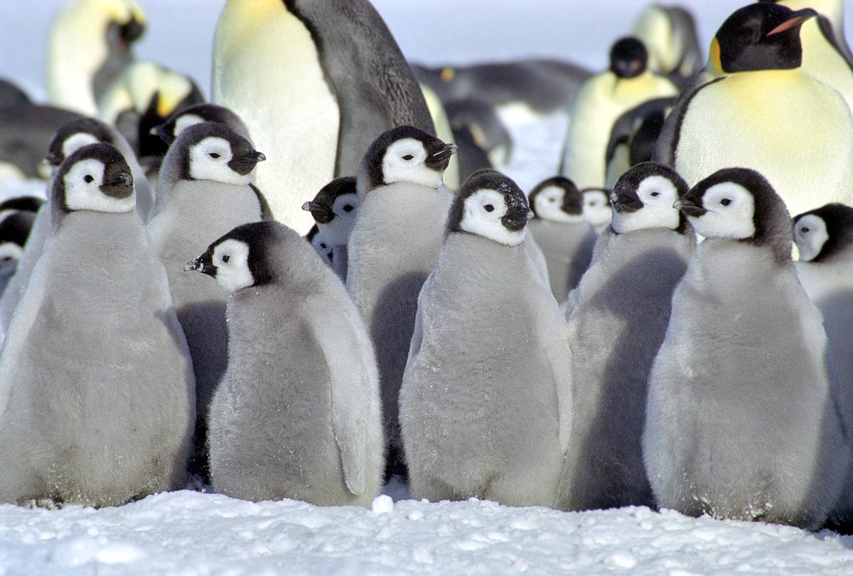 Baby Penguins Images HD Wallpaper And Background Photos