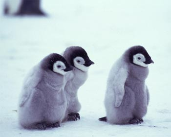Baby Penguins Images Wallpaper And Background Photos