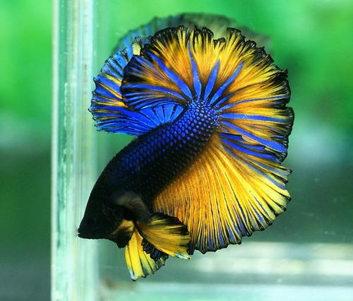 Betta Fish club tagged: betta fish betta fish cute pet pets animal