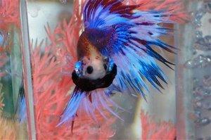 Betta मछली