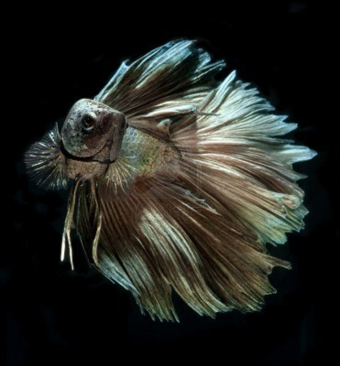 Betta fish images betta fish hd wallpaper and background for Beta fish water