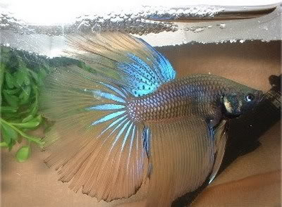 Chinese fighter fish life span for Betta fish life span