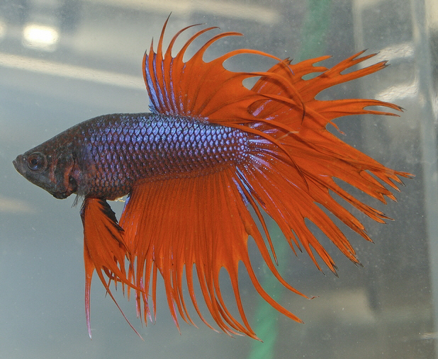Betta fish images betta fish wallpaper and background for All about betta fish