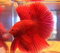 Betta Fish - betta-fish photo