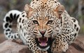 wild-animals - Big Cats wallpaper