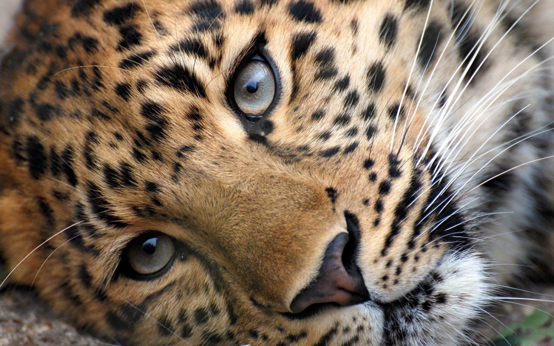 Big Cats - Wild Animals Wallpaper (34365420) - Fanpop