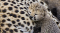Big Cats - wild-animals photo