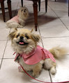 Pekingese Generation - dogs photo