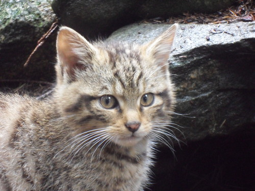 Scottish Wildcat mother and gatinhos