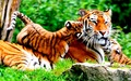 animals - Tigers  wallpaper