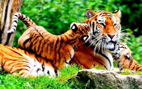 Animals wallpaper with a tiger cub, a bengal tiger, and a tiger entitled Tigers