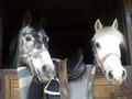 Touareg et Twister - horses photo