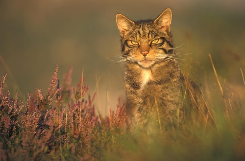 Wildcat in Heather