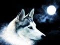 beautiful wolf background