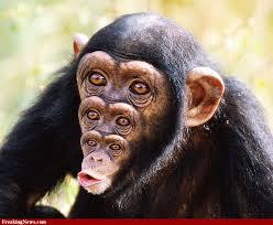 chimp?