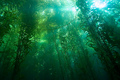 ~Kelp Forest~  - oceans photo