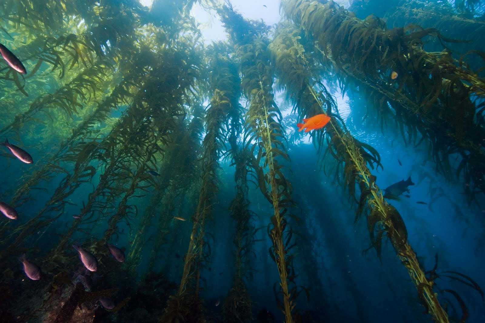 Organic Kelp in the natural form