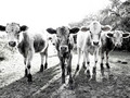 Cows  - animals photo