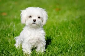Cute Maltese perrito, cachorro