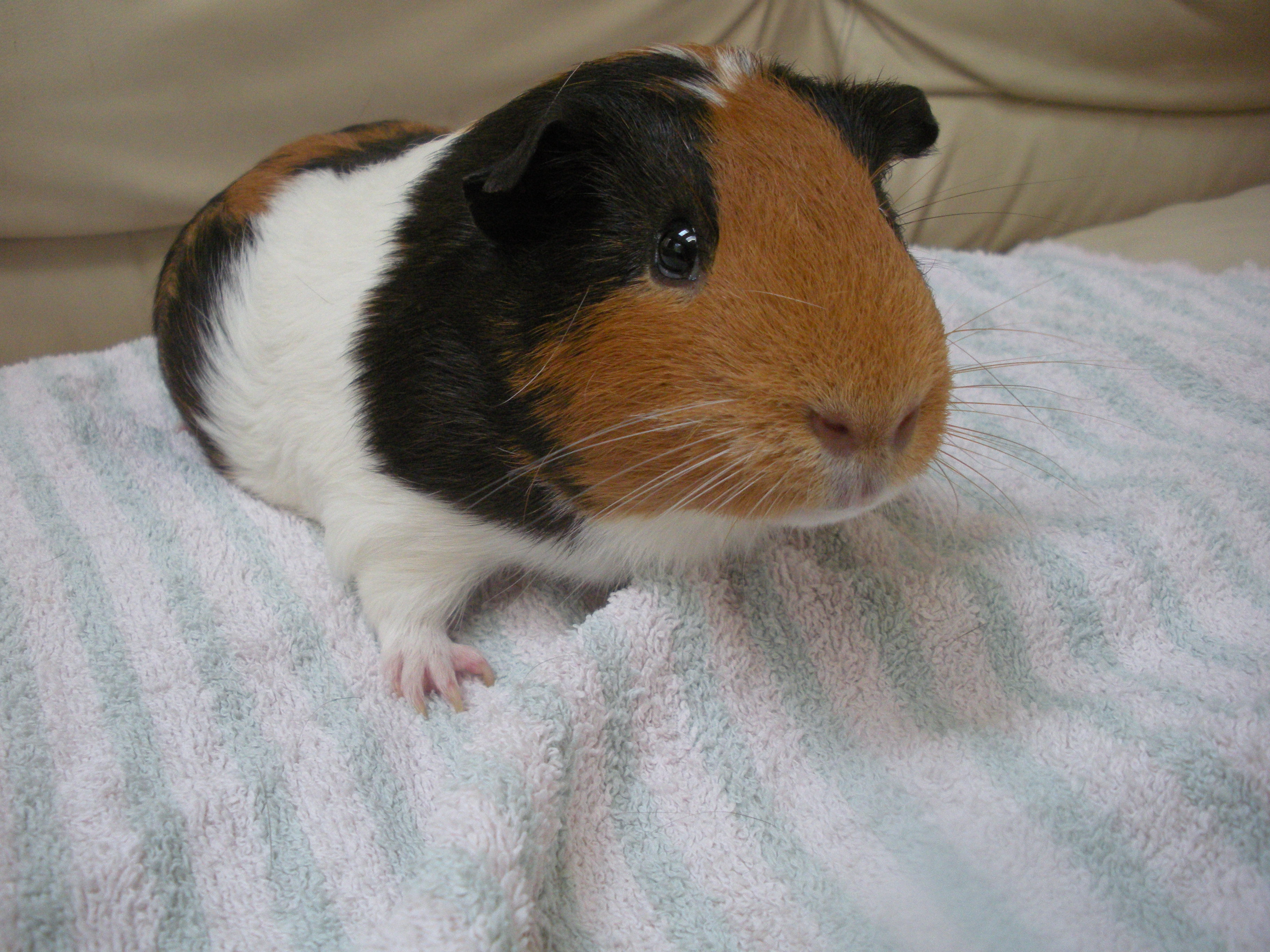 My pet guinea pig storm images storm hd wallpaper and for Free guinea pig stuff