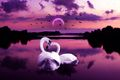 Swans  - animals photo