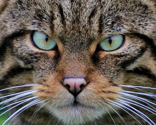 Wildcat Face