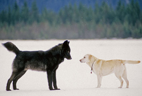serigala, wolf and Dog
