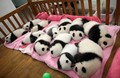 all the sleepy babies - pandas photo