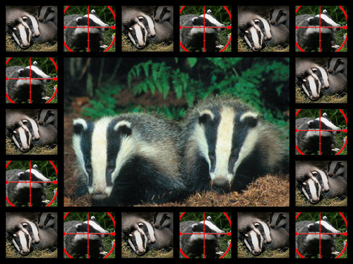 das, badger CULL