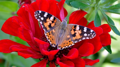 Beautiful Pictures wallpaper probably with a nymphalid and a butterfly called ~~~BEAUTIFUL ~~~~