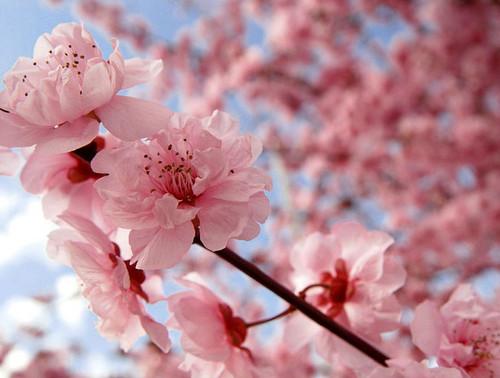 Beautiful گلابی چیری, آلو بالو Blossom پیپر وال