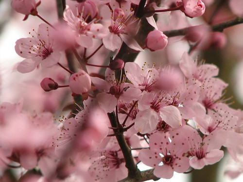 Beautiful गुलाबी चेरी Blossom वॉलपेपर