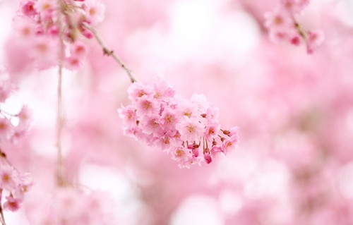 Colors wallpaper with common lilac, a mountain laurel, and a japanese plum entitled Beautiful Pink Cherry Blossom Wallpaper