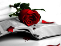 Beautiful Red Rose Wallpaper - colors wallpaper