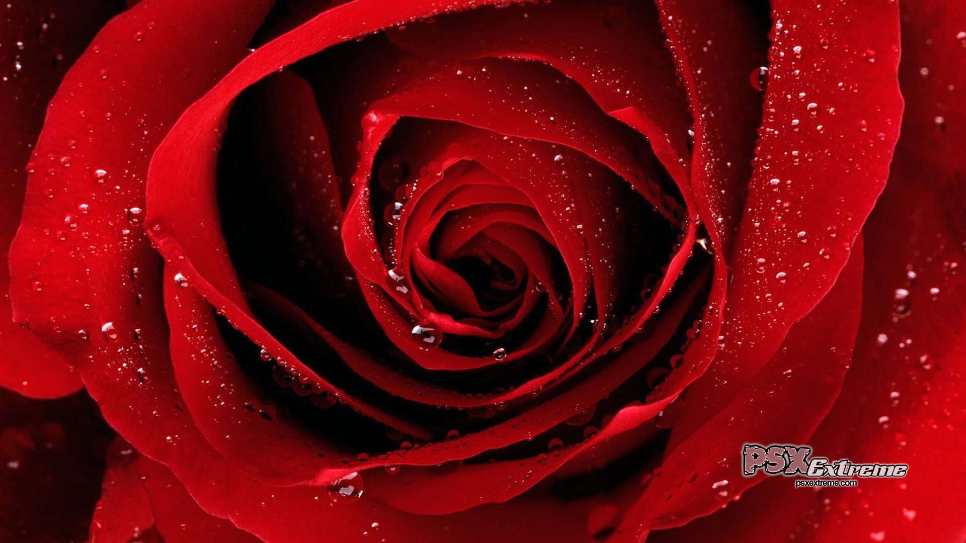 Couleurs Images Beautiful Red Rose Fond D Ecran Hd Fond D Ecran And